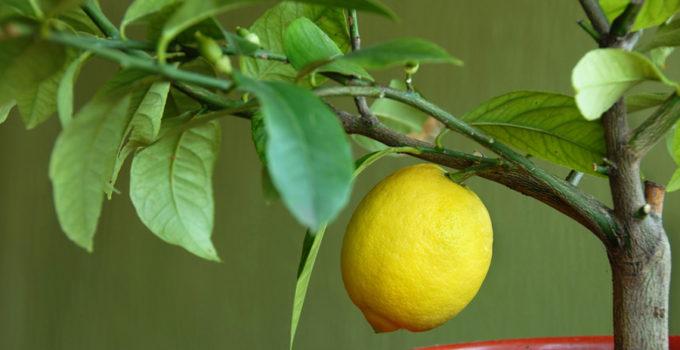 planta de limón en maceta