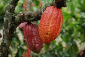 semillas de Camerún